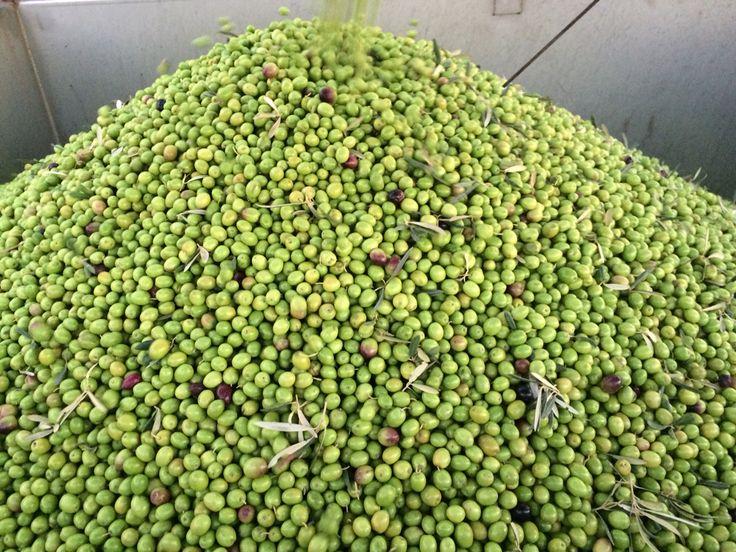 Batch of fresh Hojiblanca olives