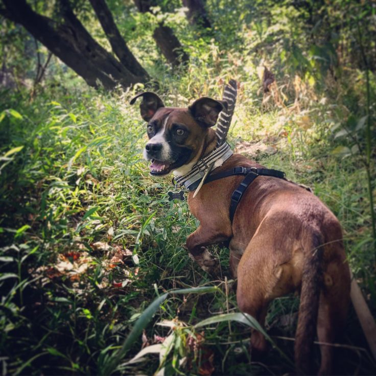 Took my dog Steve (boxer/beagle mix) on a walk through the woods today http://ift.tt/2xoJhg4