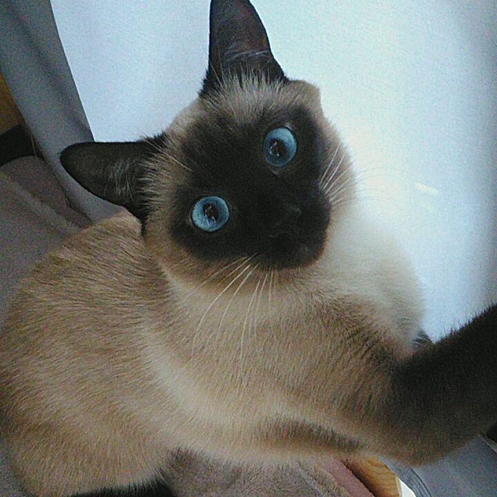Mylove Siamese Cat Siamesecat Love Cats Siamese Feature Siamesecorner Kitty Ilovecats Cute Pretty Insta Siamese Cats Cats Kittens