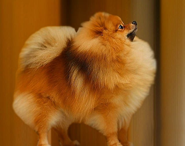 """Pomeranian: """"The small fox-like dog with a big poofy fur afro"""" would be my professional description of the Pomeranian. They shed moderately and require average grooming. Pommies are very playful and family-oriented. They do not train easily, and are affectionate towards people who are interacted with daily. They also have a fairly long lifespan of 14-16 years."""