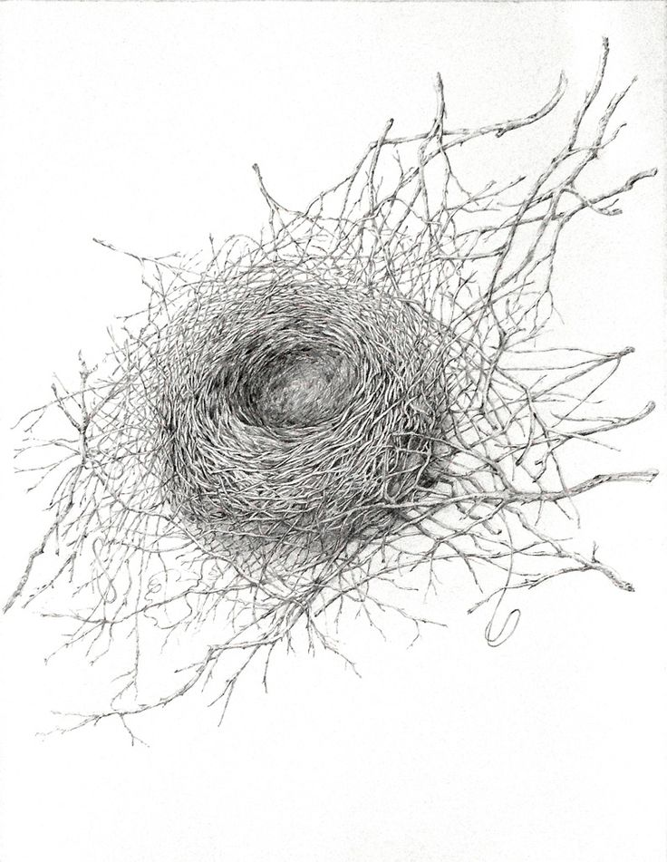 Australian Magpie nest graphite drawing Artist Sandi Rigby