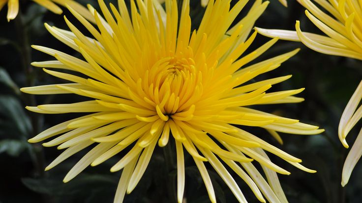 Preview Chrysanthemum