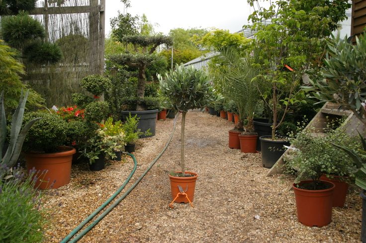 Olive trees for sale online. The widest range of the olive trees available to buy in the U.K. Selection of olive trees in stock at Big Plant Nursery. We select only the toughest and most reliable varieities from the best nurseries in the Mediterranean. We have been growing olive trees in the UK for the past decade with great success, so why not try one in your garden?