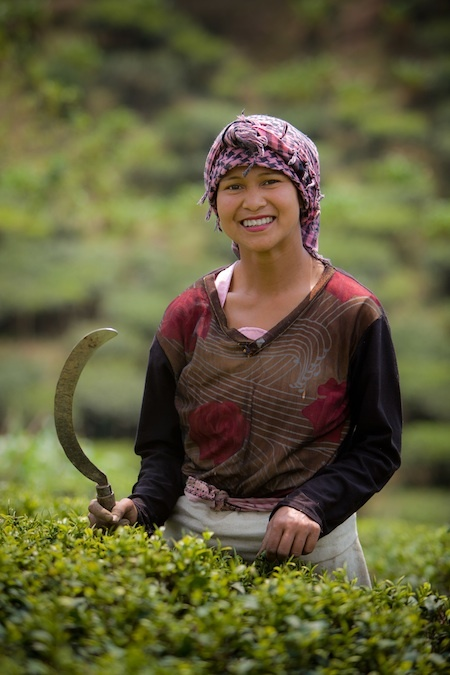 Darjeeling Tea Picker. Eastern India