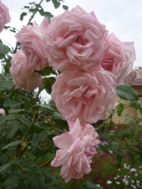 Ruža popínavá