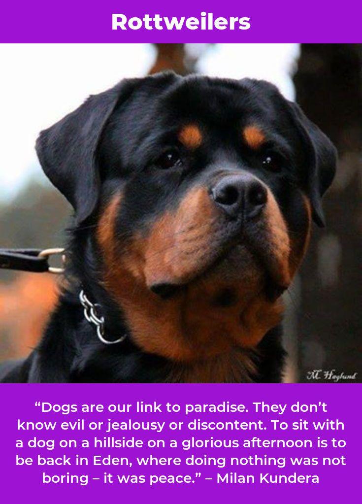 Rottweiler Puppy Rottweilersofinstagram Rottweilerfamily Dog Breeds Rottweiler Dogs