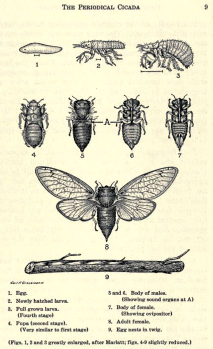 scientificillustration:  Lifecycle of the periodical cicada From: 'The periodical cicada' by Wm. J. Gerhard, Assoc. Curator of Insects. Published 1923 by Field Museum of Natural History in Chicago