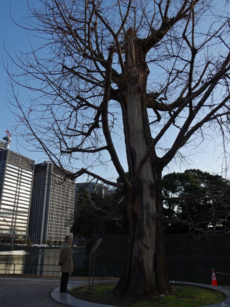 """150 years old ginkgo tree called """"Shinsai Icho"""". It survived the fire of 1923 great earthquake."""