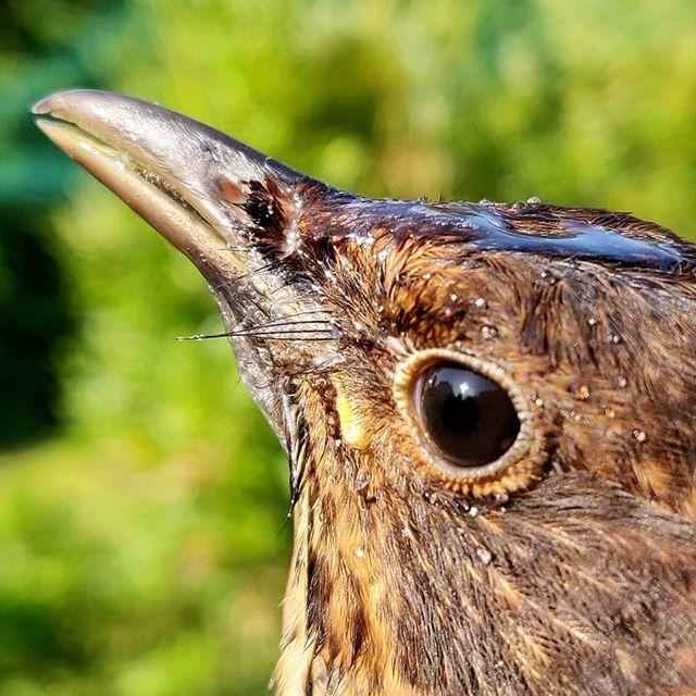 Mustarastas Naaras Turdus Merula Common Blackbird Female Amsel