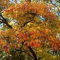 Sassafras Tree - 40-80 feet high, 30 feet wide, hardy to zone 4, yellow-red in fall. fragrant yellow flowers in spring. Bark is aromatic and can be used in tea.