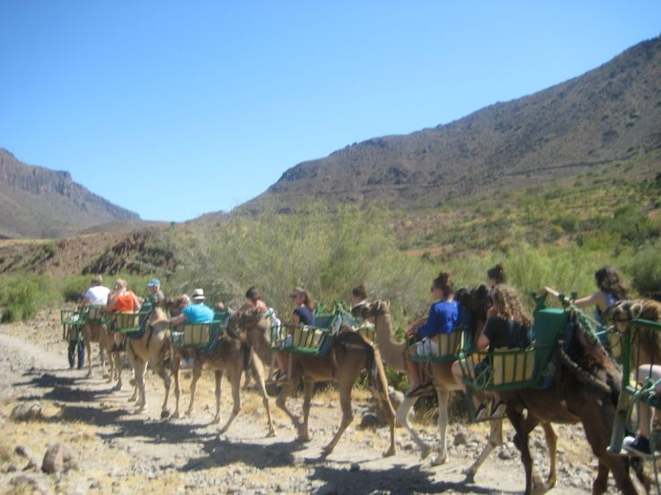 Camels in Gran Canaria