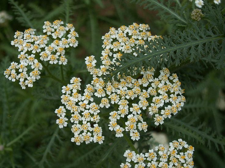 Siankärsämö  Siankärsämön kukkatee poistaa kipua, alentaa kuumetta ja vähentää verenvuotoa.