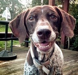 Peanut - German Shorthaired Pointer - Female - 10 yrs old - Second Chance Dogs - Roy, WA. - http://www.secondchancedogs.net/ - https://www.facebook.com/SecondChanceDogs - http://www.adoptapet.com/pet/11900251-mckenna-washington-german-shorthaired-pointer - https://www.petfinder.com/petdetail/30762447/