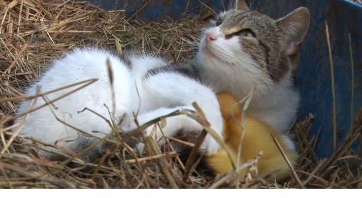 Una mamá gata cuidando a sus crías y a sus patos