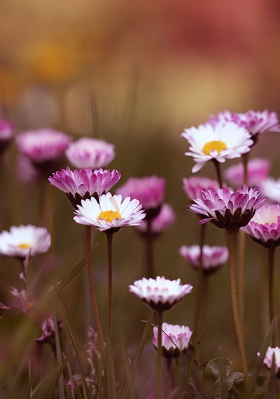 Pretty in PurpleWild Flower, White Flower, Clovers, The Colors Purple, Daisies Chains, Beautiful, Pink, Fall Flower, Fields