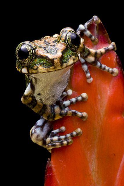 Peacock Tree Frog - by Darren's