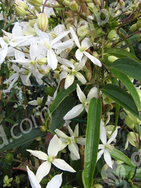 Clématite armandii  Grimpante facile et généreuse, la clématite armandii présente le double intérêt d'une floraison précoce et d'un feuillage persistant. Comme en outre ses fleurs sont délicatement parfumées,  - rustique et résiste à -10°C l'hiver - se plaît en tous sols - n'aime pas l'humidité stagnante - Après la floraison, fin mars début avril, raccourcissez les rameaux ayant fleuri jusqu'à une paire de bourgeons, qui donneront de nouvelles tiges florifères l 'année suivante.
