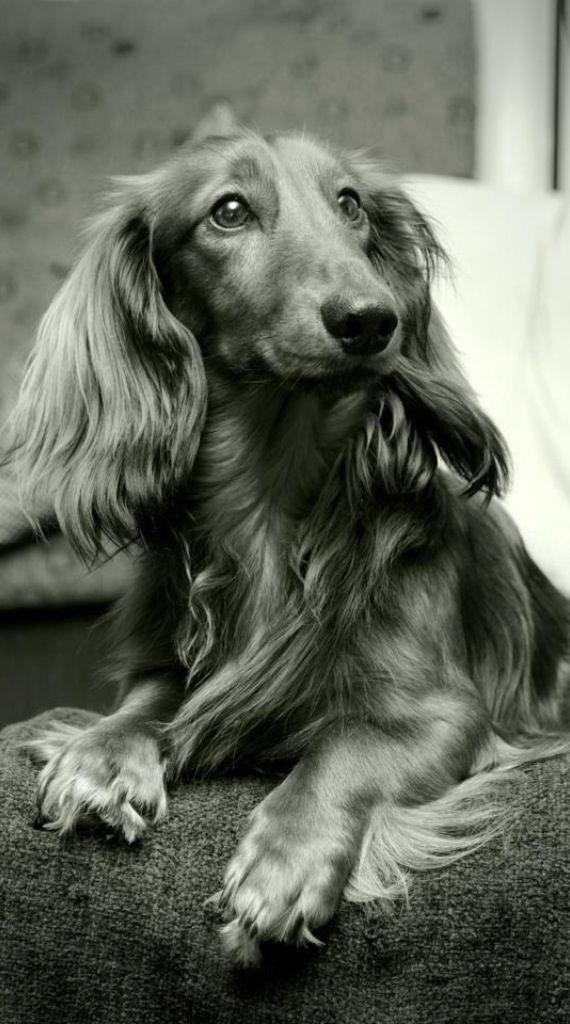 Dachshund - love this black and white longhair!