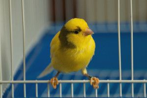 Choosing the Best Canary Cage - THE #1 Canary Bird Online Resource - Your Complete Canary Bird Guide