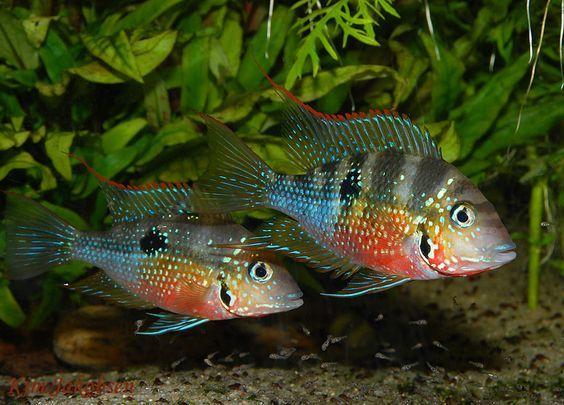 "Thorichthys maculipinnis ""Ellioti"""
