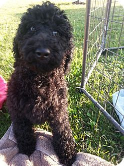 antwerp, OH - Bernese Mountain Dog/Poodle (Standard) Mix. Meet Bernie Poo, a puppy for adoption. http://www.adoptapet.com/pet/18525609-antwerp-ohio-bernese-mountain-dog-mix