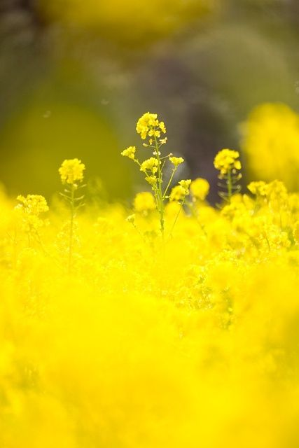 A field of yellow blooms - summer :)
