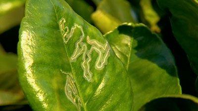 Gardening Australia - Fact Sheet: Citrus Care