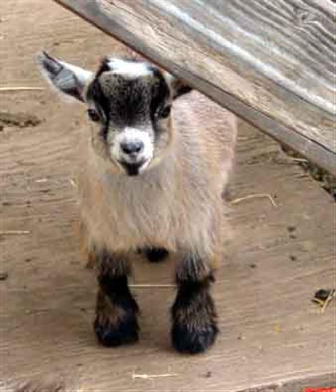 Cute Baby Pygmy Goats Images & Pictures - Becuo