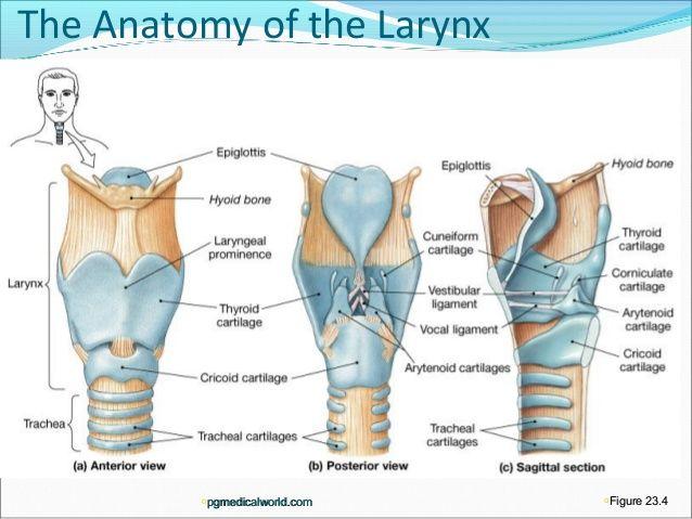Larynx anatomy model