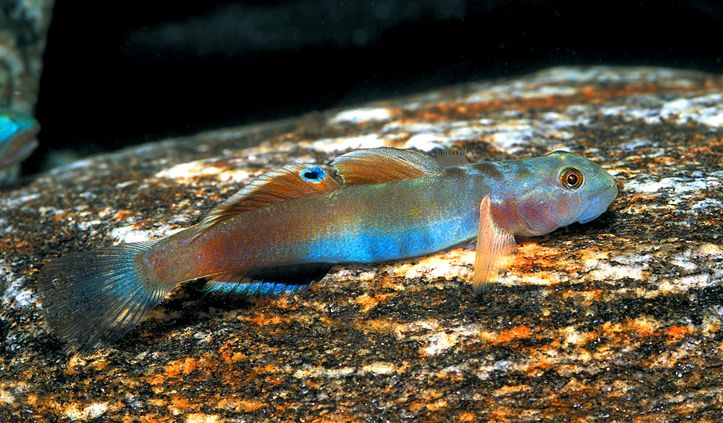 1659 best images about fishes on pinterest deep sea for Freshwater goby fish