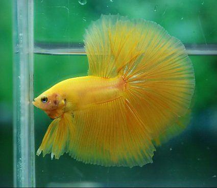 Betta Yellow Male Halfmoon | Fish tank ....> | Pinterest ...