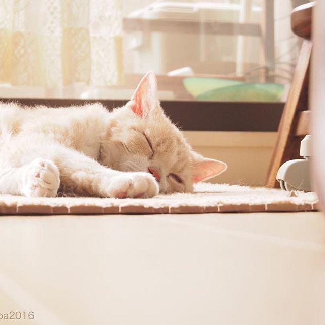 . ✿ お昼寝…。 家に帰ったら気持ちよさそうに寝てました。 *.(๓´͈ ˘ `͈๓).* . . #マシューという猫のこと #スコティッシュフォールド #立ち耳スコ #愛猫 #多頭飼い #もふもふ部 #ふわもこ部 #肉球 #ねこすたぐらむ #クリーム猫部  #ねこのいる生活 #ニャンスタグラム #猫のいる暮らし #にゃんすたぐらむ  #ペコねこ部 #nekoclub #NEKOくらぶ #みんねこ #ピクネコ #pecon  #instacat #catstagram #cats_of_instagram #ilovemycat #catzelnut #catifyco  #bestcatsclub #bestcataward #ウェブキャットショー #ウェブキャットショー2