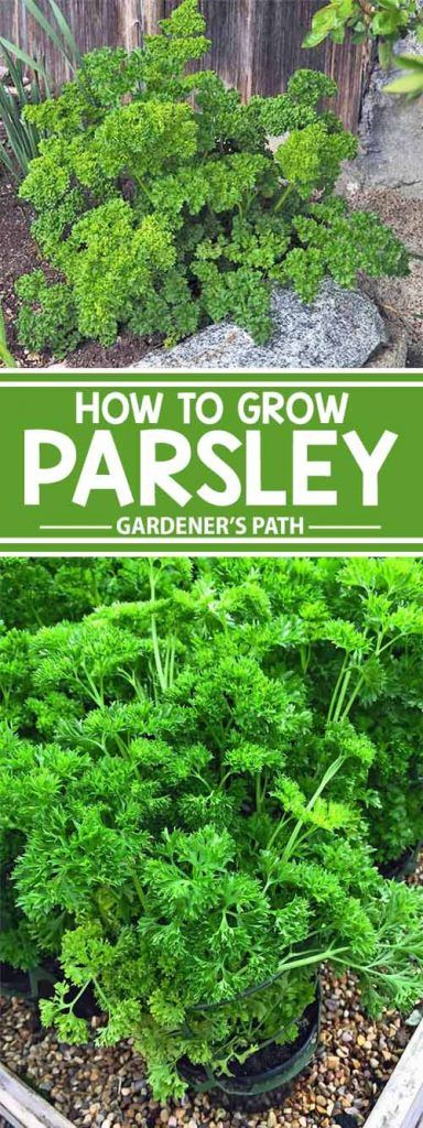 Parsley has a rich and storied history, and its substantial health properties and usefulness as a garden herb are timeless. Easy to grow and propagate, this attractive herb is a welcome addition to veggie patches and flower containers, and storage of surplus stock is simple as well. Get all the details on how to grow and enjoy parsley – read more now on Gardener's Path.