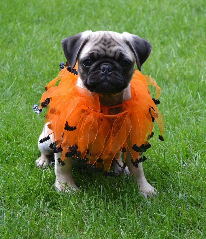 our pug boo and his bats pugcostume pughalloween pugbats - Pugs Halloween