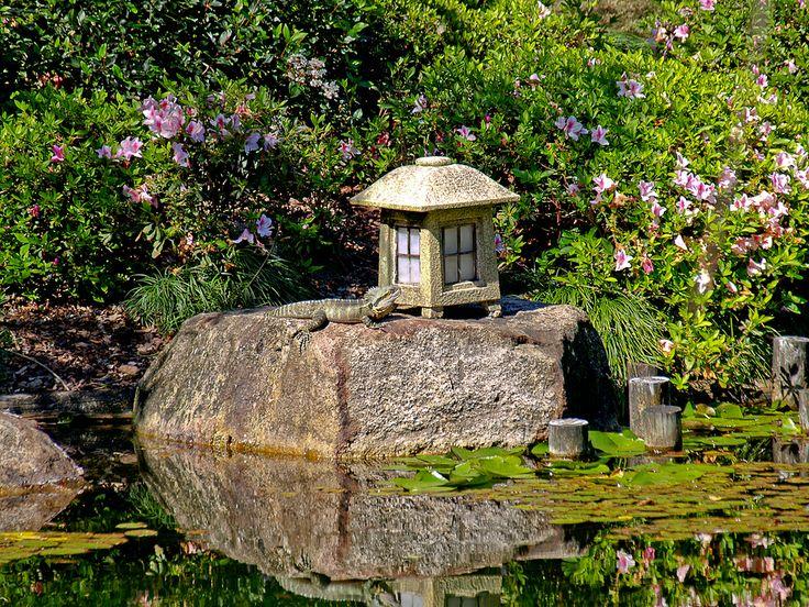 A local Water dragon sunning itself in the Japanese Garden at Brisbane Botanic Gardens.