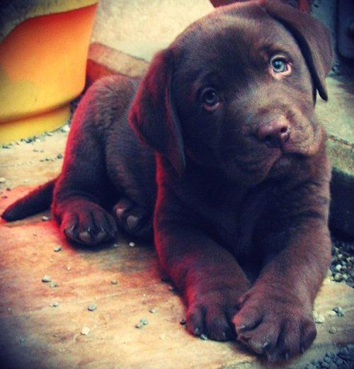 You can't help but smile...: Labrador Retriever, Dogs, Little Puppies, Chocolate Labs, Puppies Eye, Blue Eye, Chocolates Labs Puppies, Animal, Puppies Face