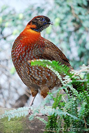 pheasant: Stockings Photo, Animal