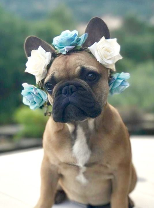 French Bulldog Puppy at the wedding ❤️