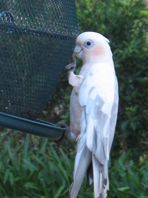 An avid bird-watcher in Fennell Bay, New South Wales has published photographs of a galah-corella hybrid they observed in September last year.