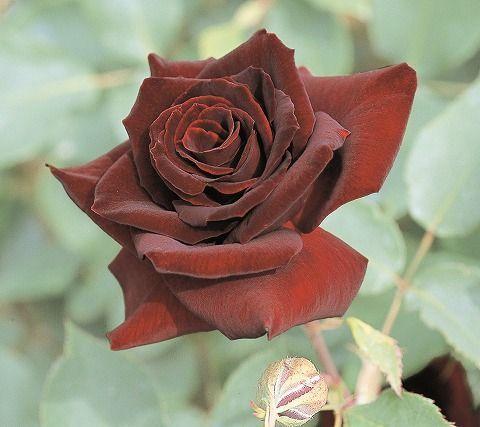 【バラ苗】 黒真珠 (HT) 国産苗 大苗 6号ポット 四季咲き 黒赤 バラ 苗 薔薇【京成バラ】