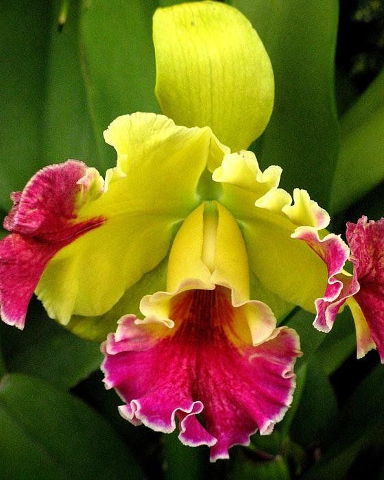Yellow And Pink Cattleya Orchid  By Alfred Ng