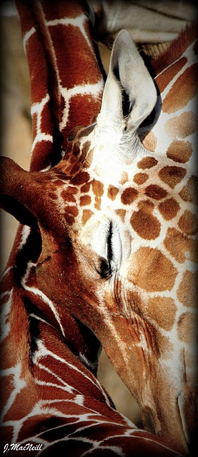 Mother giraffe nuzzles her baby.
