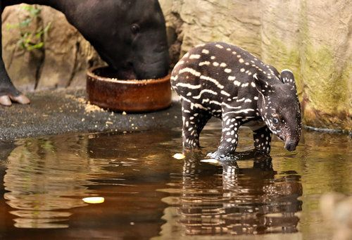 A young Malayan tapir takes a bath in his enclosure at a zoo in Leipzig, Germany, on March 7.
