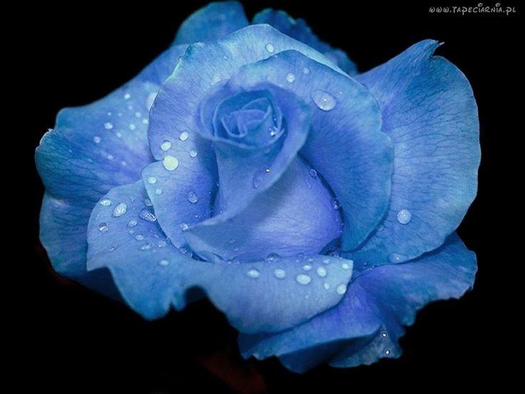 Niebieska, Róża, Krople, Wody