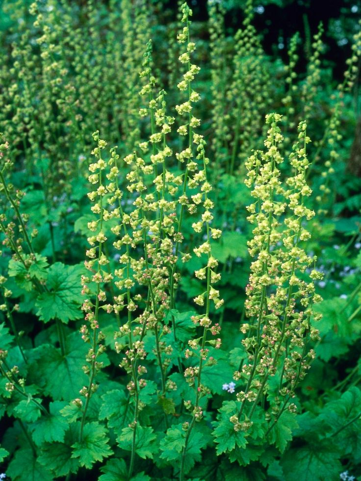 Plant Solutions for Dry Shade, Fringe cups, Tellima grandiflora