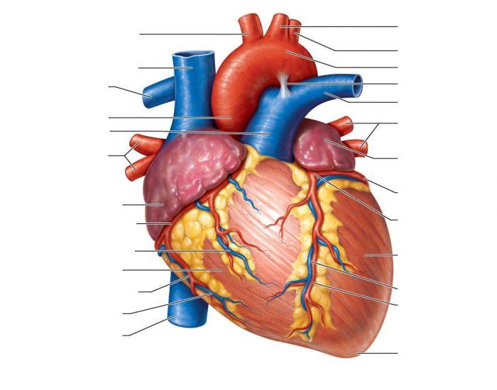 Mejores 12 imágenes de heart en Pinterest | Anatomía del corazón ...