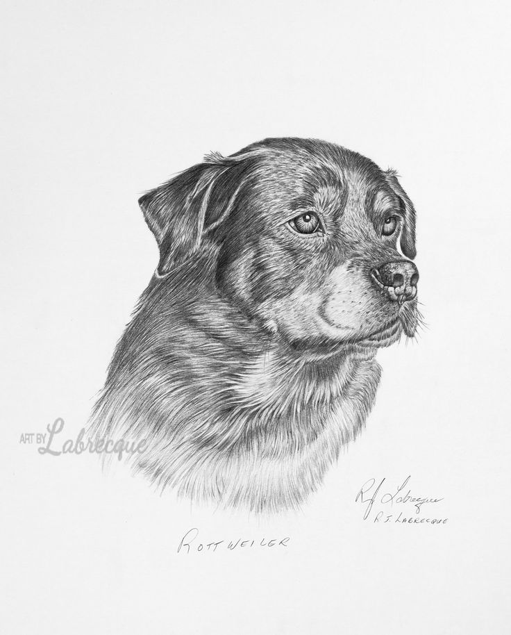 Rottweiler $7.00  Print size of 16′ x 20′ (40 cm x 50 cm) Watermark will not show on final product. Prices in Canadian Dollars.