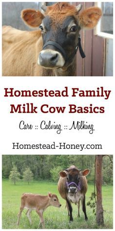 Do you want to bring a family milk cow to your homestead? Start here for a collection of resources and information all about homestead dairy cows. | Homestead Honey