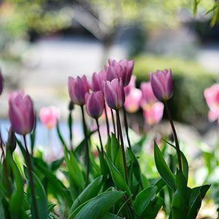Ni måste lägga denna ljuvliga lök på er inköpslista i höst! En darwin tulpan 'Light and Dreamy' som skiftar i rosa och violett. Stjälken är plommonfärgad och är i underbar kontrast till de skimrande kronbladen. 40 cm hög. Nu blommar den i majsol på Zetas. @zetastradgard #tulips #gardening #odladinträdgård
