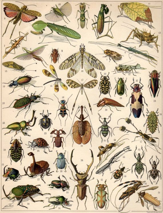 1897 Insects Antique Print, Bugs Lithograph, Insects Illustration, Beetles Poster, Jewel Beetles, Crickets, Grasshoppers, Damselfly, Mantis